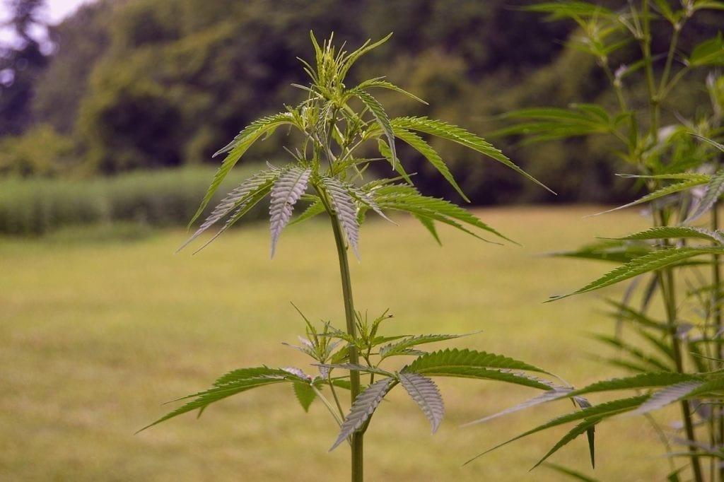 marijuana looks like a weed