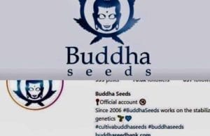 buddha seeds bank autoflowering cannabis spain