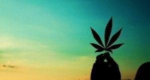 A marijuana plant contrasted against the sunrise