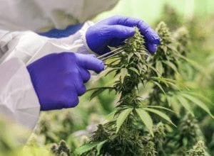 medical cannabis cultivation