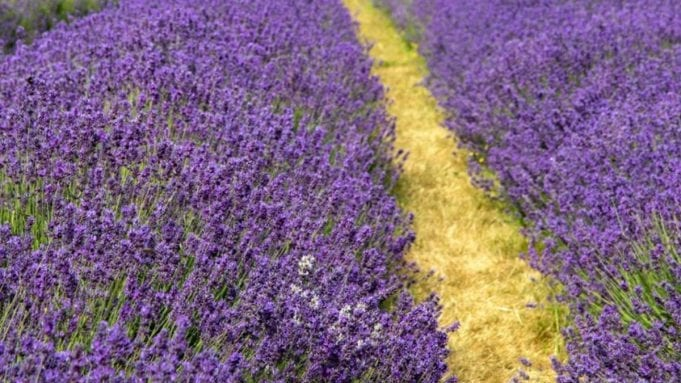 lavender also contains linalool