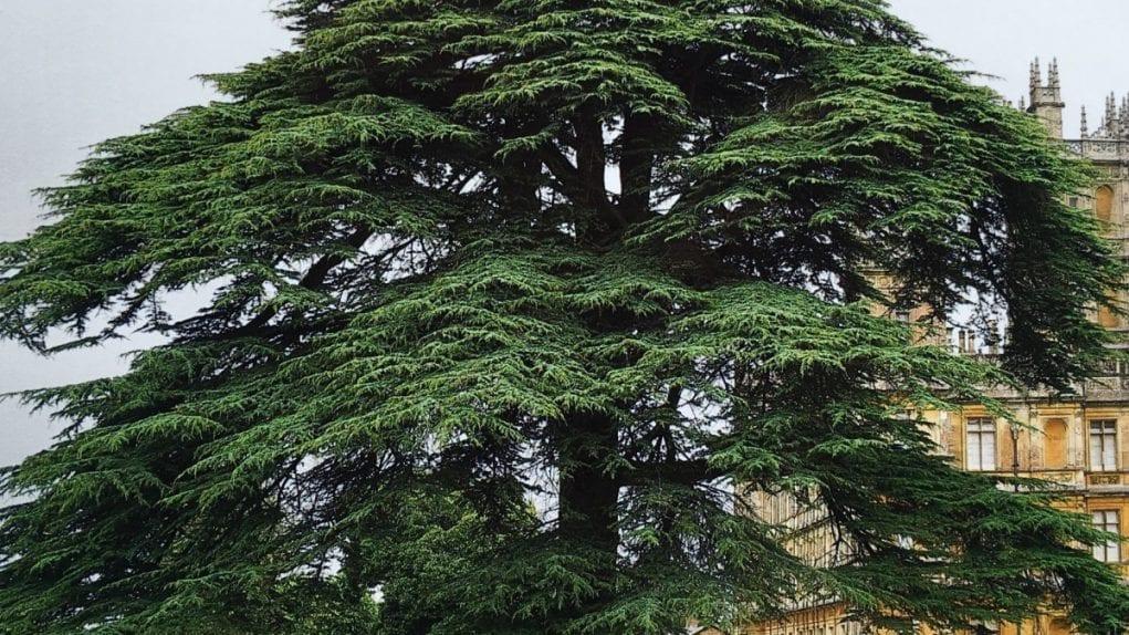 delta 3 carene is also found in cedar trees