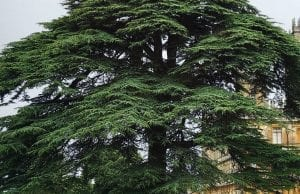 delta 3 carene is also found in cedar trees