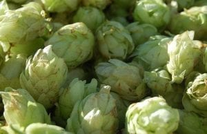 humulene was first discovered in hops