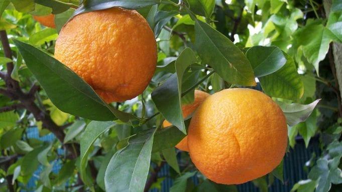 nerolidol is best known from the bitter orange