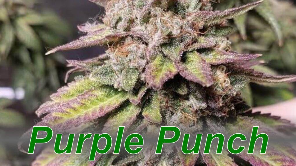 Purple_Punch_cannabis_strain