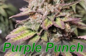 Purple_Punch_cannabis_strain
