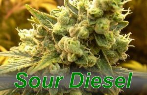 Sour_Diesel_cannabis_strain