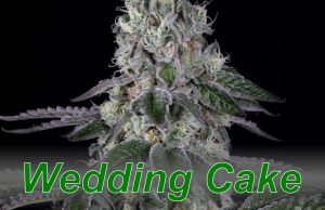 Wedding_Cake_cannabis_strain