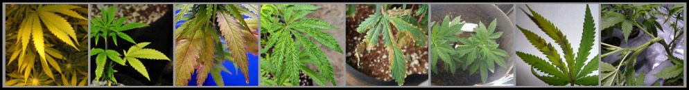 cannabis_leaf_deficiency_diagnosis