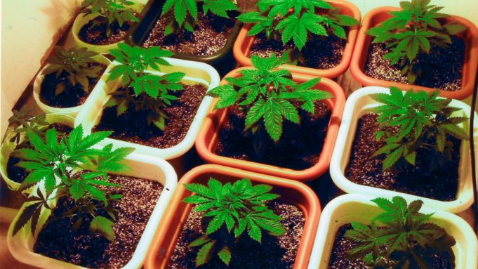 cannabis_potted_cultivation