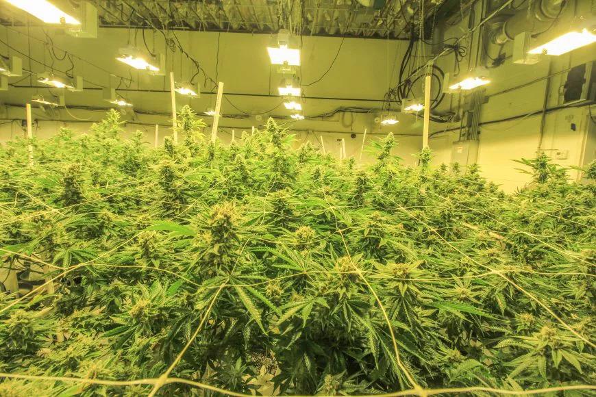 well-lit_cannabis